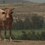 Can farming in Ethiopia be successfully commercialised? – BBC VIDEO