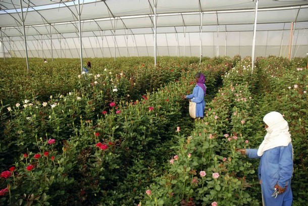 A woman harvests roses in a greenhouse at the ET Highland Flora flower farm just outside Ethiopian capital, Addis Ababa February 12, 2008. The Ethiopian flower industry is booming and the country will export up to two million stems a day in the two weeks leading up to Valentine's day. Picture taken February 12, 2008. To match feature ETHIOPIA-FLOWERS/  REUTERS/Michael Tsegaye (ETHIOPIA)