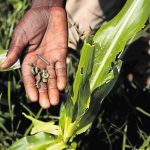 Ethiopia: Government Fighting to Control Spread of Armyworm