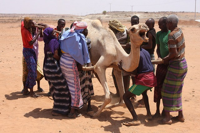 Displaced pastoralists helping a weak camel to its feet (it's not strong enough to lift its own weight) using poles beneath its belly. Credit: James Jeffrey/IPS