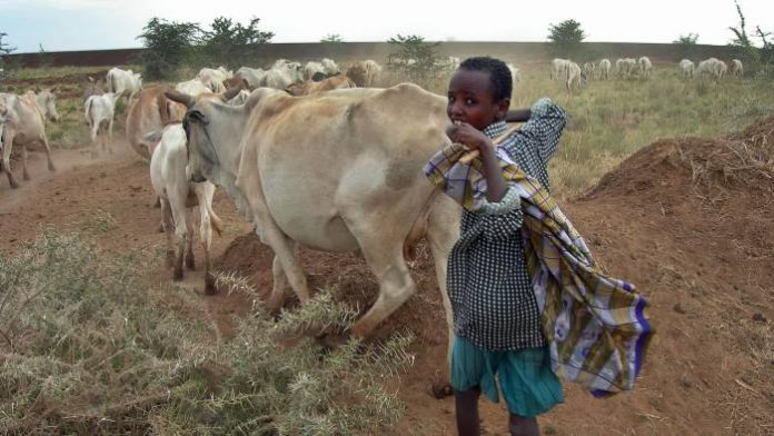 Ethiopia livestock plan offers route to middle-income